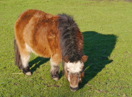 A brown grazing Shetland pony with a white head Stock Photo - 17384917