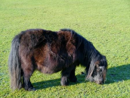 A dark brown grazing Shetlnd pony Stock Photo - 17384919