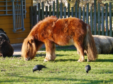 A brown shetland pony with hooded crows in winter Stock Photo - 17416688