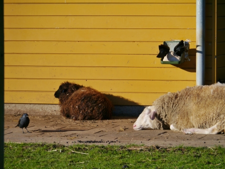 Resting sheep on a farm Stock Photo - 17416689
