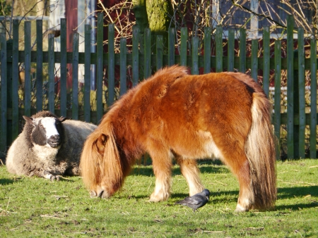 A brown shetland Pony in front of a ruminating sheep Stock Photo - 17384920