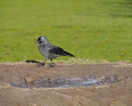 A hooded crow  corvis cornix  walking in a meadow in winter Stock Photo - 17416687