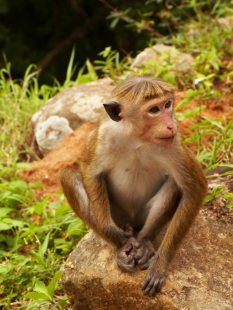 Toque Macaque monquis also called rilewa or rilawa monkey in Sri Lanka Stock Photo - 17520765