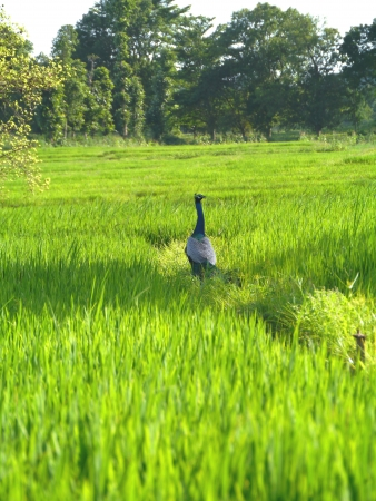 agronomic: Rice field with trees in Sri Lanka Stock Photo