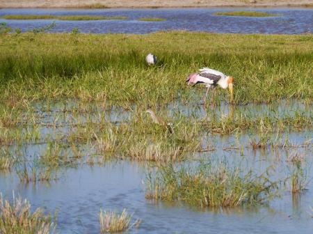 A painted stork  mysteria leucocephala  in a pool in the Yala national park in Sri Lanka Stock Photo - 17819555