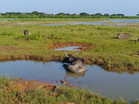 A buffalo in a pool in the Yala national park in Sri Lanka Stock Photo - 17818273