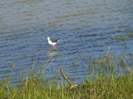 A black winged stilt  Himantopus himantopus  a wader with pink legs in the Yale national park in Sri Lanka Stock Photo - 17854716