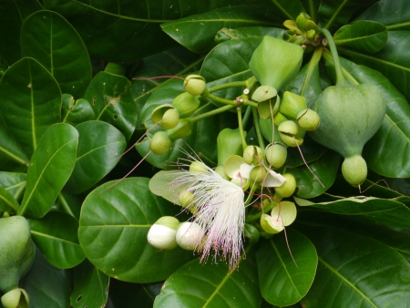 sea poison: A sea poison tree  barringtonia asiatica  tree with a flower