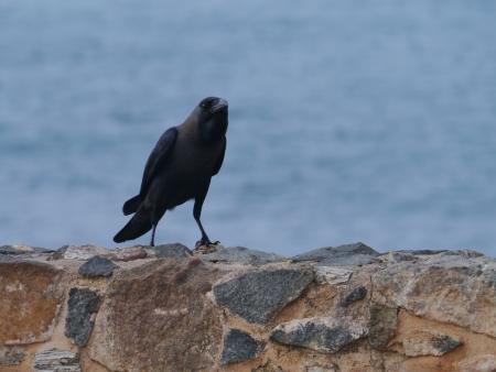 The house or Colombo crow  Corvus Splendens  Stock Photo - 17820308