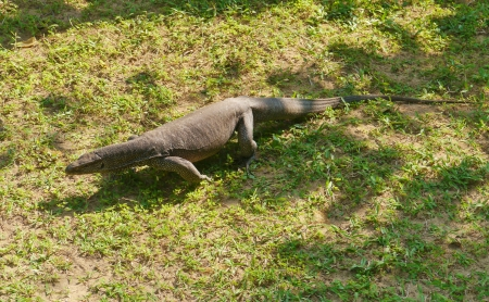 An Asian water monitor lizard on the grass in Sri Lanka photo