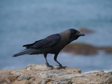 colombo: The house or Colombo crow  Corvus Splendens