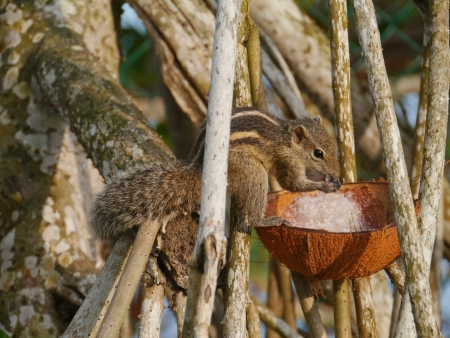 The Indian palm squirrel  Funam bulus palmarum  eating coconut meat in a tree on Sri Lanka Stock Photo - 17854727