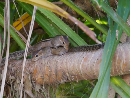 A mother Indian palm squirrel  Funam bulus palmarum  cleaning her child Stock Photo - 17859349
