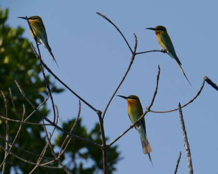 Blue Tailed Bee Eater Sri Lanka Blue-tailed Bee Eaters Merops