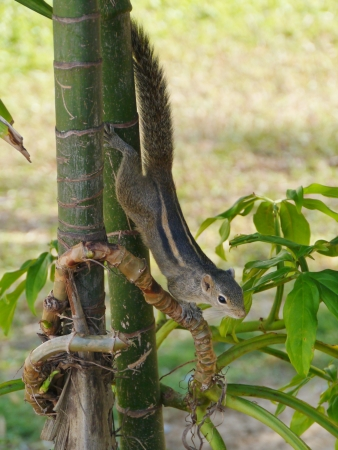 The Indian palm squirrel  Funam bulus palmarum  in a tree on Sri Lanka photo