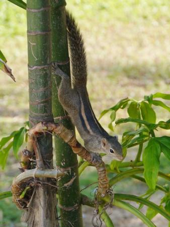The Indian palm squirrel  Funam bulus palmarum  in a tree on Sri Lanka Stock Photo - 17820313