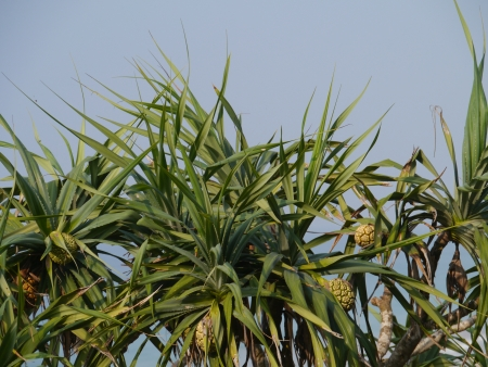 tectorius: Pandanus tectorius  screwpine  on Sri Lanka at the  waterfront of the Indian Ocean
