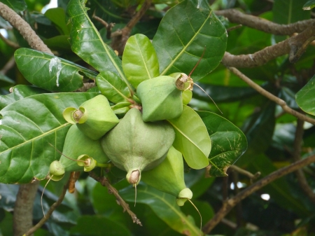 barringtonia: A sea poison tree  barringtonia asiatica  tree with fruits Stock Photo