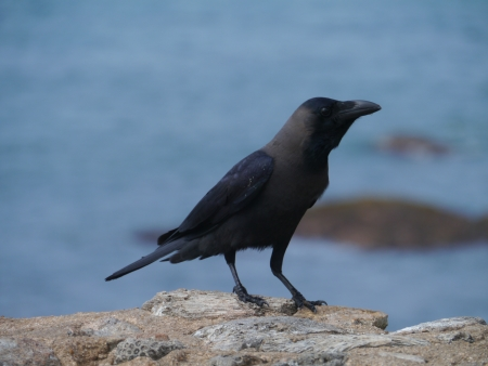 The house or Colombo crow  Corvus Splendens Stock Photo - 17852265