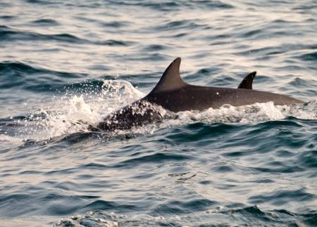 dorsal: Saltando delfines con una aleta dorsal en el oc�ano �ndico cerca de Sri Lanka Foto de archivo