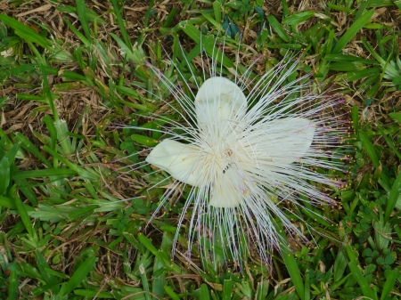 sea poison: The flower of a sea poison tree  barringtonia asiatica  on the grass