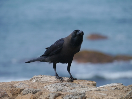 The house or Colombo crow  Corvus Splendens Stock Photo - 17852279