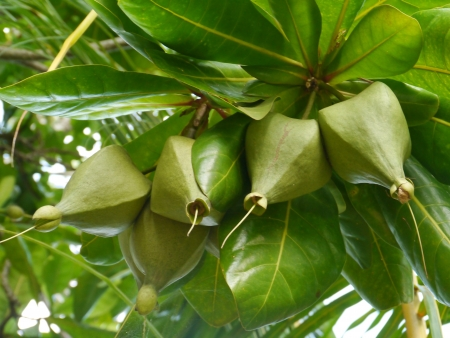 A sea poison tree  barringtonia asiatica  tree with fruits photo
