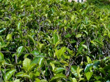 The tea fields in Sri Lanka in Asia Stock Photo - 17817491