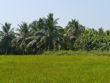 Rice field with trees in Sri Lanka Stock Photo - 17817469