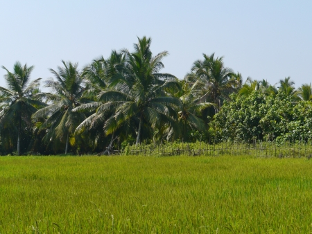Rice field with trees in Sri Lanka Stock Photo - 17817469