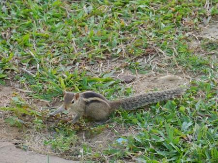 The Indian palm squirrel  Funam bulus palmarum  on the grass in Sri Lanka Stock Photo - 17819599