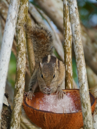 The Indian palm squirrel  Funam bulus palmarum  eating coconut meat in a tree on Sri Lanka photo