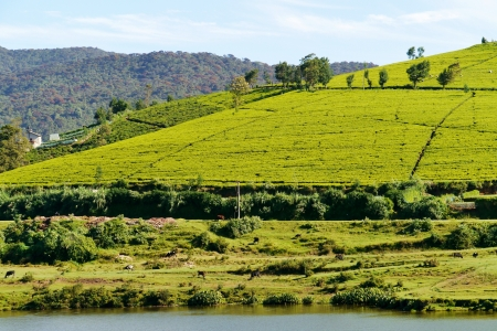 The tea fields above the lake near Nuwara Eliya in Sri Lanka in Asia photo