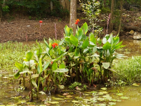 Gladolus or sword lily  iridaceae  a bulbous flowering plant at the waterfront of a pool in Sri Lanka Stock Photo - 17852301