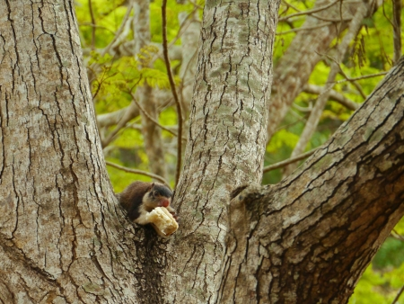 grizzled: Grizzled giant or rock squirrel  ratufa macroura  in a tree Stock Photo