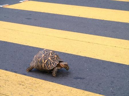 cartilaginous: An Indian star tortoise  geochelone elegans  walking on a zebra crossing in Sri Lanka