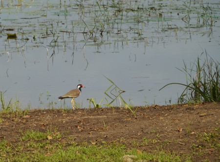 A red wattled lapwing  Vanellus indicus  at the waterfront of a lake in Sri Lanka Stock Photo - 18006015