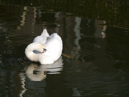 olur: A sophisticated mute swan in the water