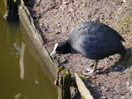 expended: A coot  felicia atra  at the waterfront of a canal Stock Photo