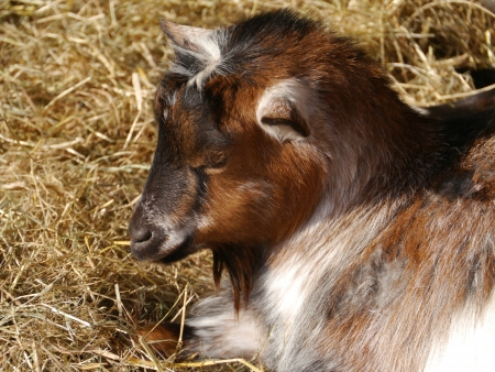 pigmy: A young brown and white pigmy goat at a children�s farm