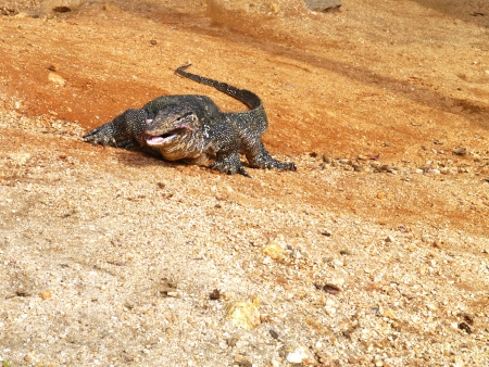 An Asian water monitor lizard in Sri Lanka photo