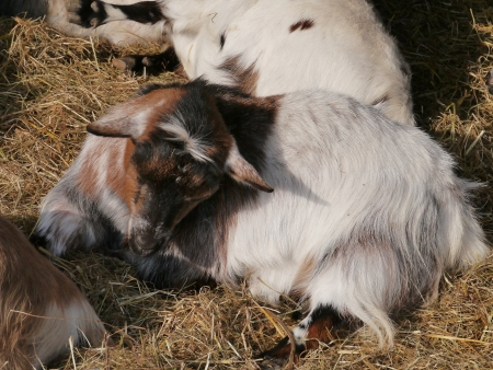 pigmy: A young brown and white pigmy goat in the straw at a farm