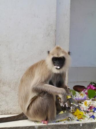 hanuman langur: Gray langur or Hanuman langur  semnopithecus  a black faced monkey in SriLanka