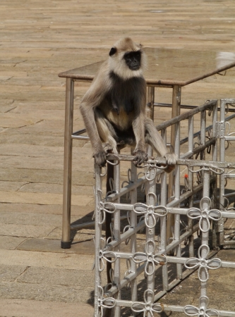 Gray langur or Hanuman langur  semnopithecus  a black faced monkey in SriLanka Stock Photo - 18005284