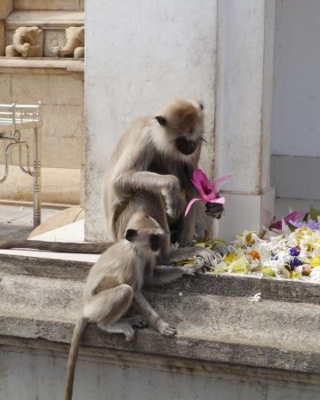 Gray langur or Hanuman langur  semnopithecus  a black faced monkeys eating from the flowers of a temple in Sri Lanka Stock Photo - 18005279