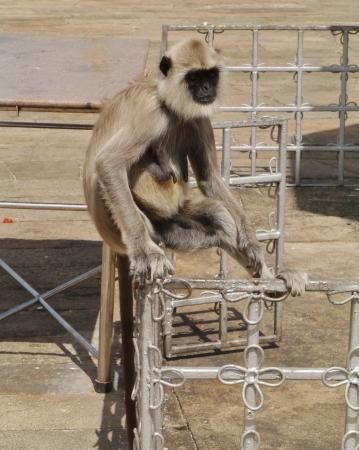 Gray langur or Hanuman langur  semnopithecus  a black faced monkey in SriLanka Stock Photo - 17972836