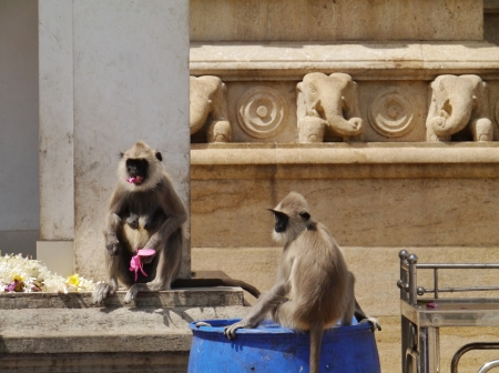 semnopithecus: Gray langur or Hanuman langur  semnopithecus  a black faced monkeys eating from the flowers of a temple in Sri Lanka Stock Photo