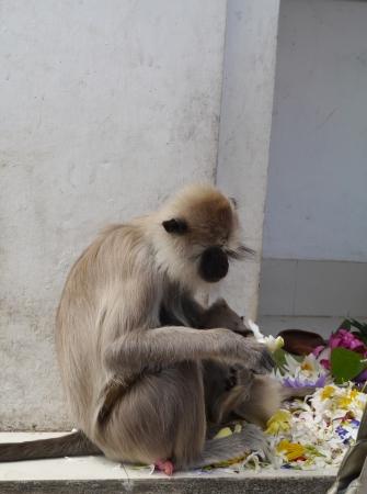 Gray langur or Hanuman langur  semnopithecus  a black faced monkey in SriLanka photo