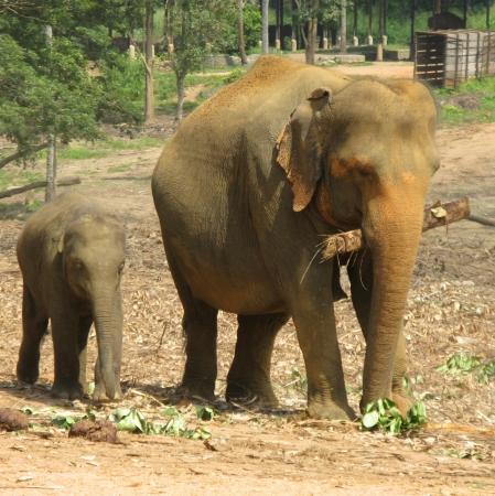orphanage: Pinnawala elephant orphanage in Sri Lanka Stock Photo