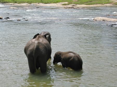 orphanage: Elephants of the Pinnawala elephant orphanage in Sri Lanka bathing in the river Ma Oya